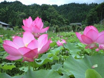 たくさん咲いている蓮の花