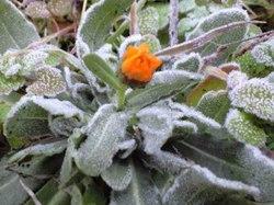 凍った草花