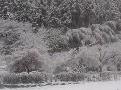 紅梅の雪化粧