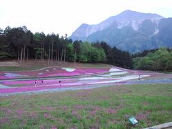 シバザクラと武甲山