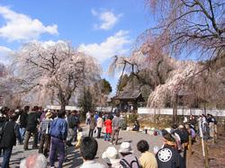 青雲寺のしだれ桜