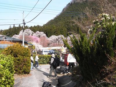 遠くから見える桜